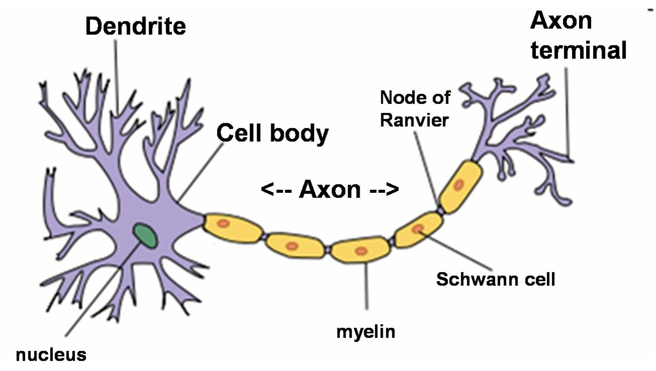 1304x739 > Neuron Wallpapers