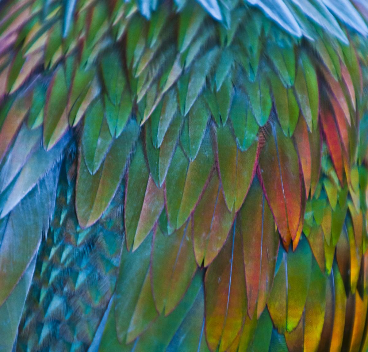 HQ Nicobar Pigeon Wallpapers | File 158.79Kb