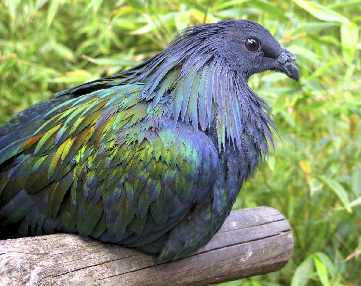 HQ Nicobar Pigeon Wallpapers | File 172.28Kb