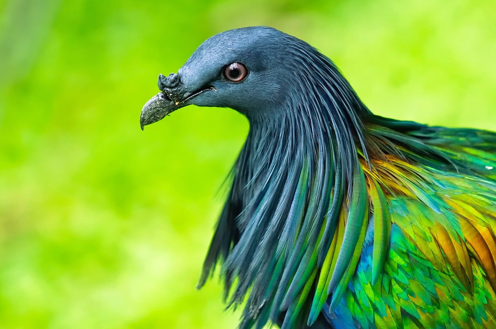 Nice Images Collection: Nicobar Pigeon Desktop Wallpapers