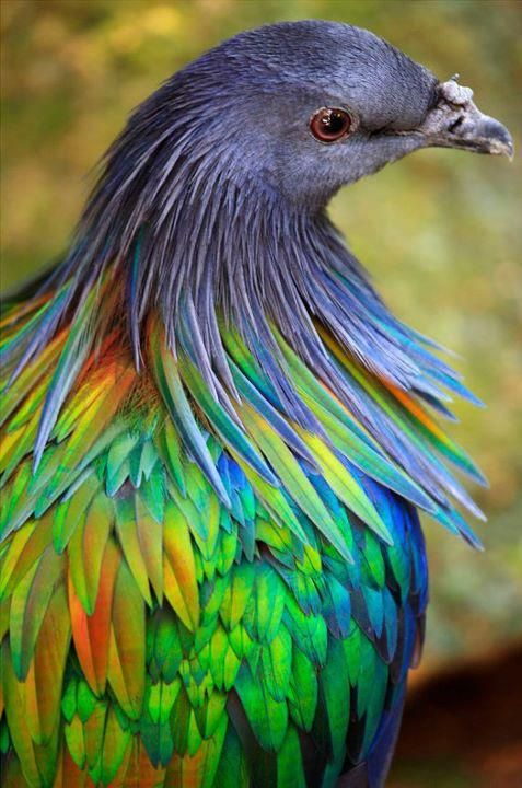 Nicobar Pigeon High Quality Background on Wallpapers Vista