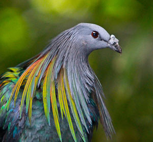 Nicobar Pigeon Pics, Animal Collection