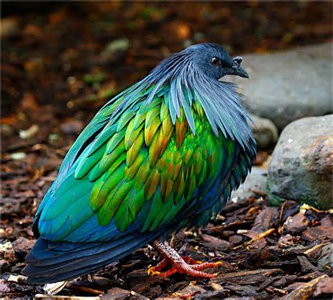 Images of Nicobar Pigeon | 480x433