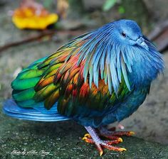 236x224 > Nicobar Pigeon Wallpapers