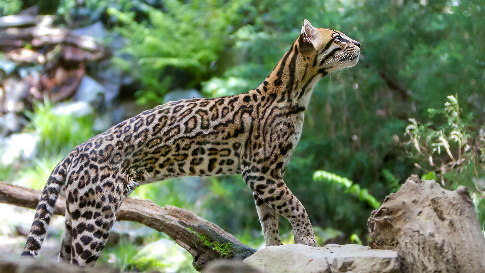 HD Quality Wallpaper   Collection: Animal, 1600x900 Ocelot