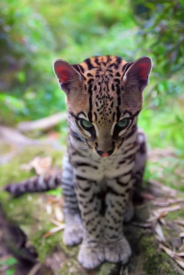 HD Quality Wallpaper   Collection: Animal, 600x897 Ocelot