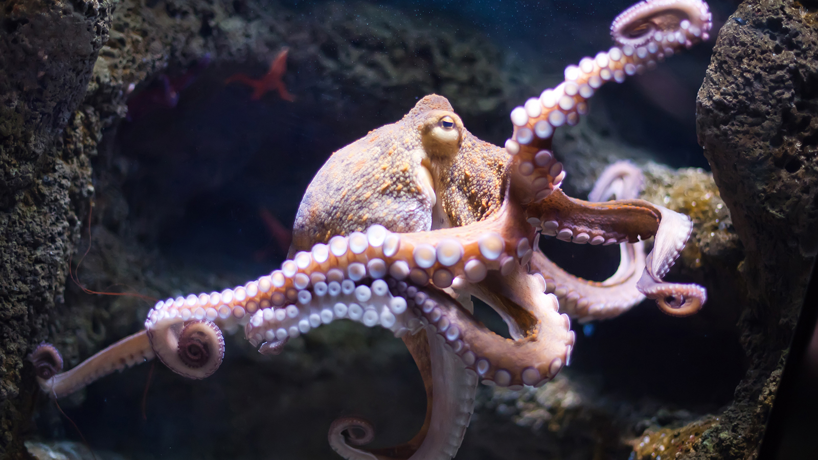 Octopus Backgrounds, Compatible - PC, Mobile, Gadgets| 1600x900 px