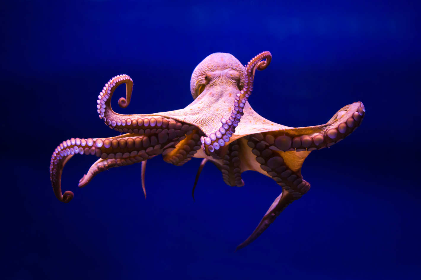 Octopus Backgrounds on Wallpapers Vista