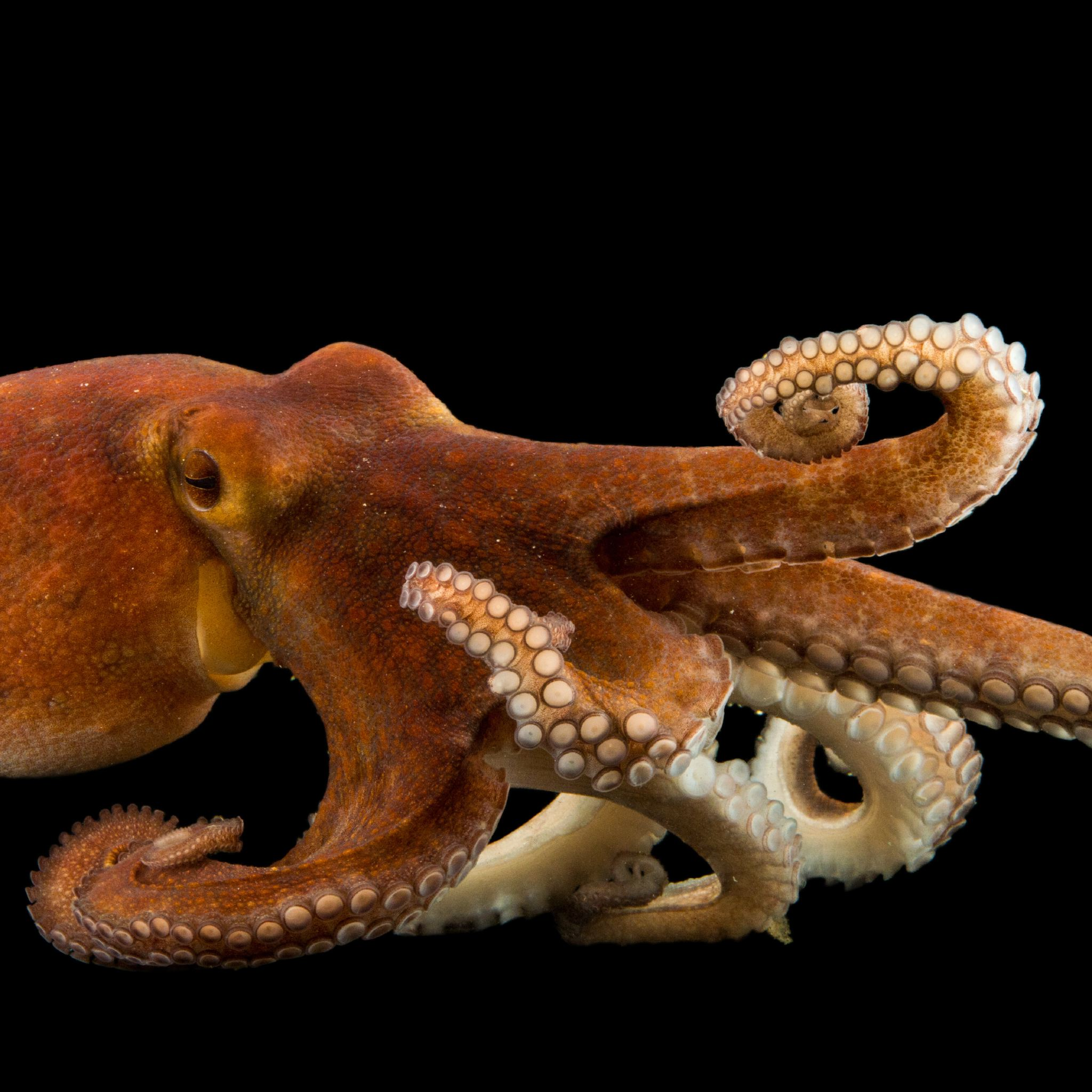 HQ Octopus Wallpapers | File 389.14Kb