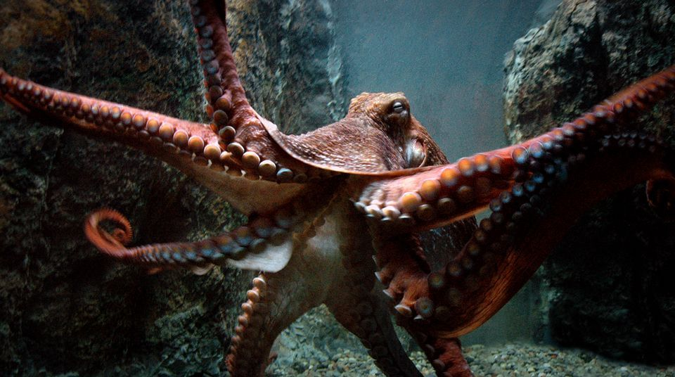 Amazing Octopus Pictures & Backgrounds