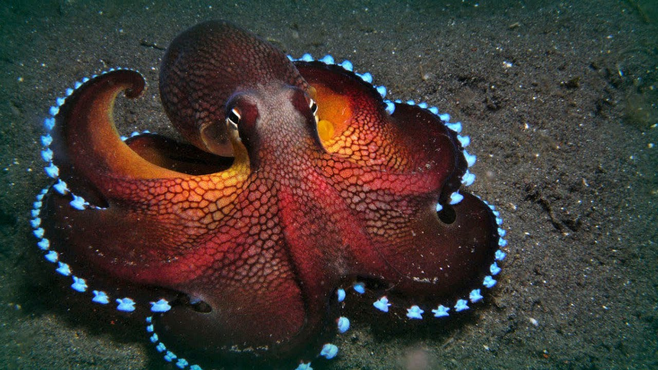 Nice Images Collection: Octopus Desktop Wallpapers