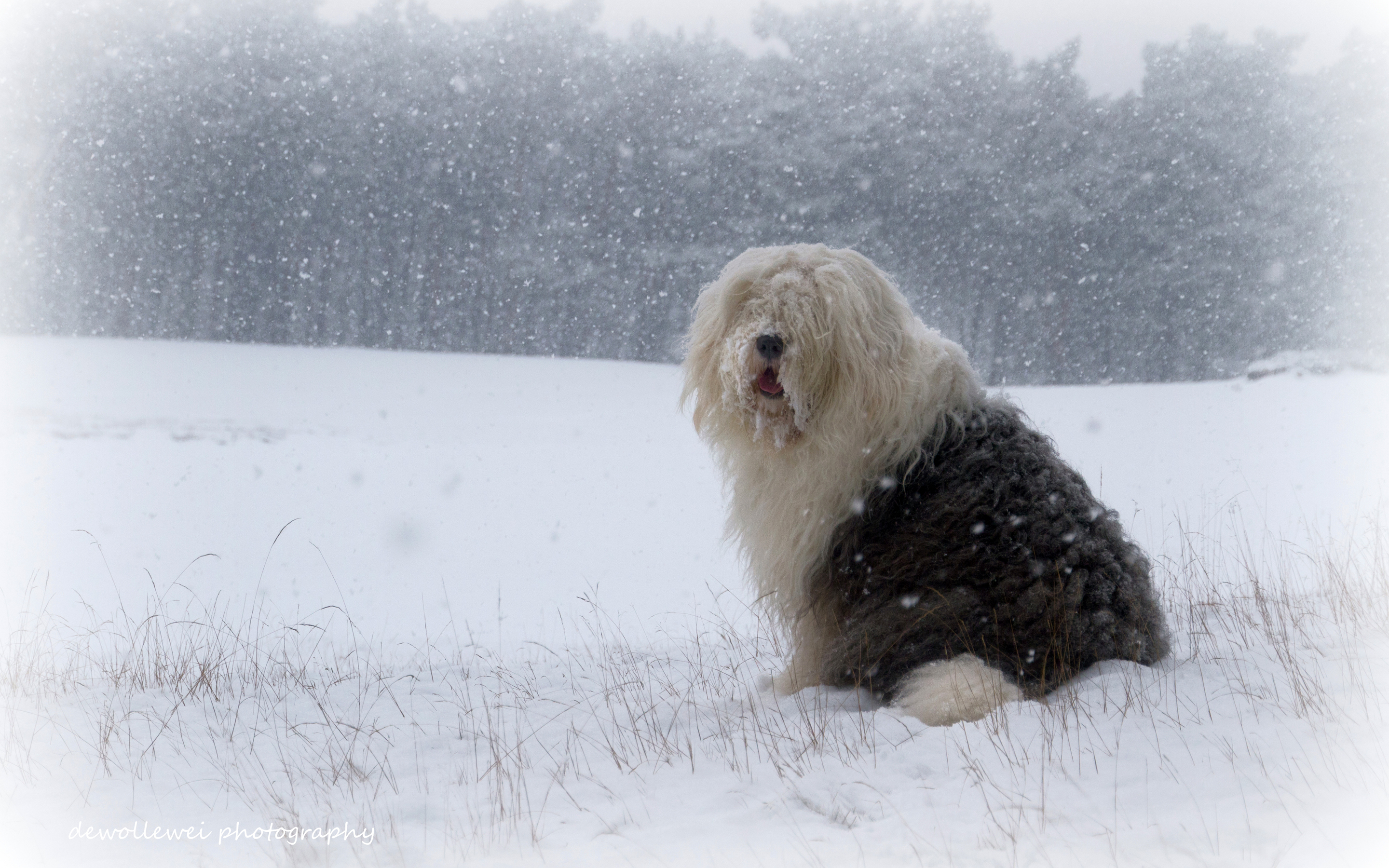 Old English Sheepdog Backgrounds on Wallpapers Vista