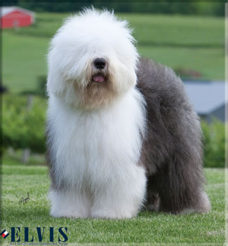 Nice Images Collection: Old English Sheepdog Desktop Wallpapers