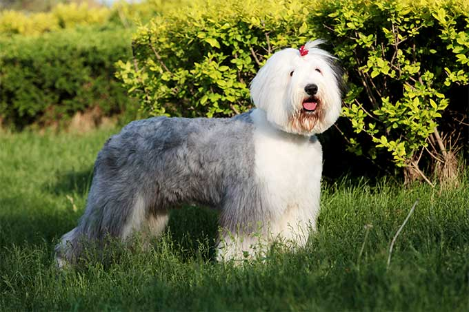 Old English Sheepdog Backgrounds, Compatible - PC, Mobile, Gadgets| 680x453 px