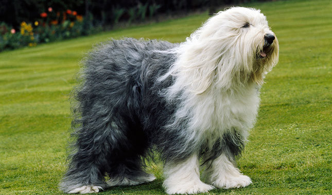 Nice wallpapers Old English Sheepdog 645x380px