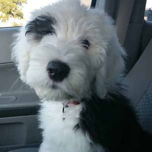 Old English Sheepdog High Quality Background on Wallpapers Vista
