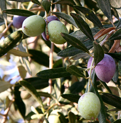 Nice Images Collection: Olive Desktop Wallpapers