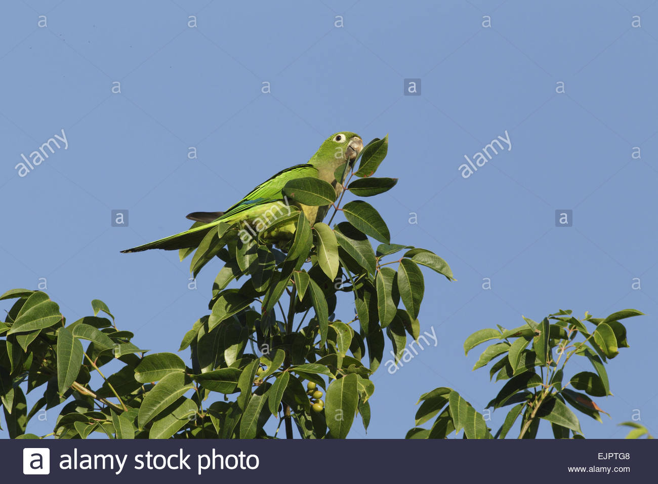 Images of Olive-Throated Parakeet | 1300x956