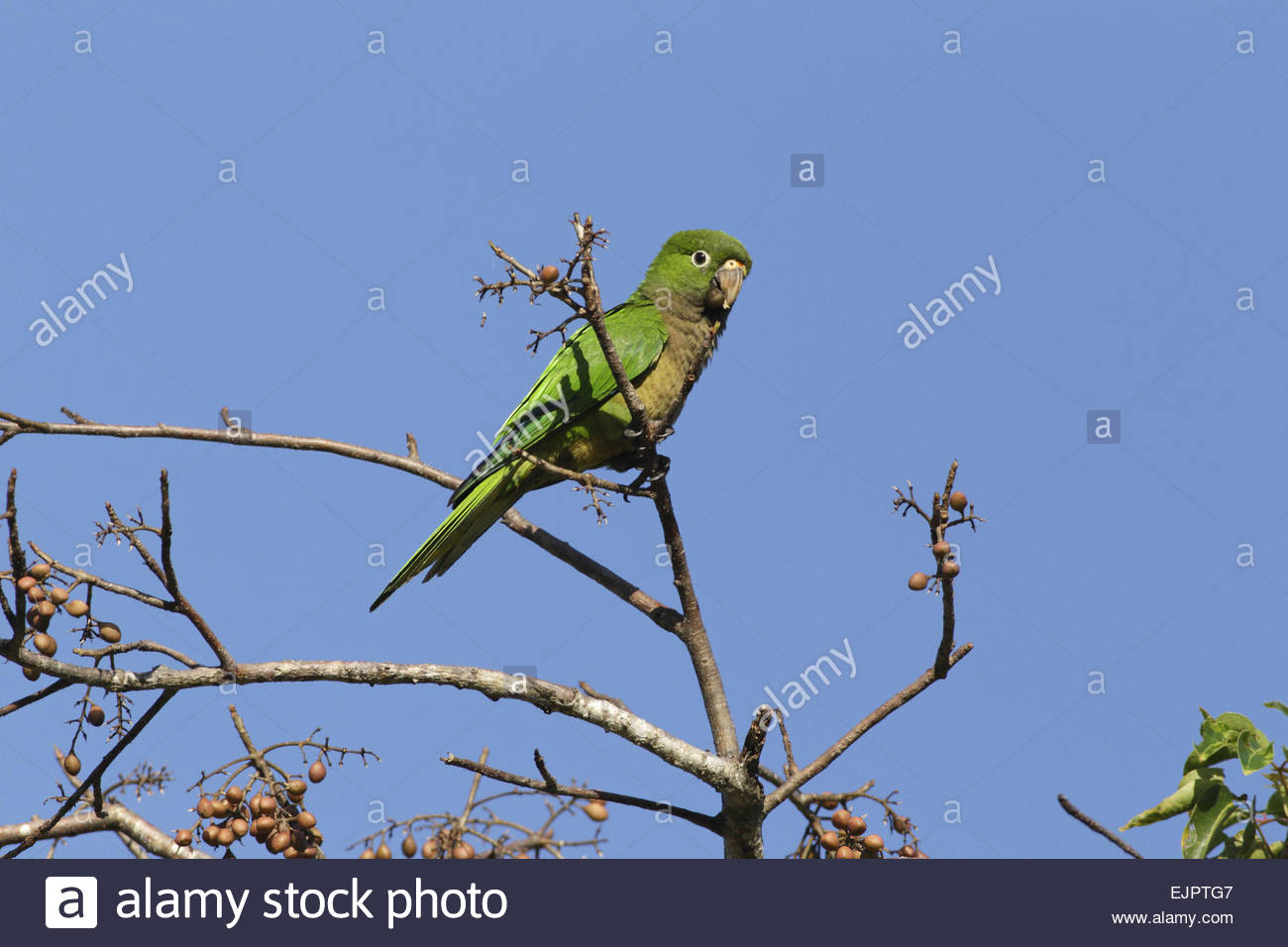 Amazing Olive-Throated Parakeet Pictures & Backgrounds