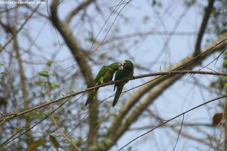 Olive-Throated Parakeet #27