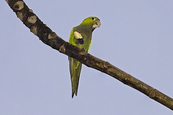 Olive-Throated Parakeet Backgrounds on Wallpapers Vista
