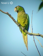 Olive-Throated Parakeet #26