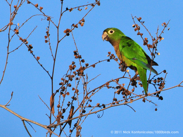 Olive-Throated Parakeet Pics, Animal Collection