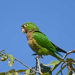 Nice wallpapers Olive-Throated Parakeet 256x256px