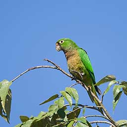 Images of Olive-Throated Parakeet | 256x256