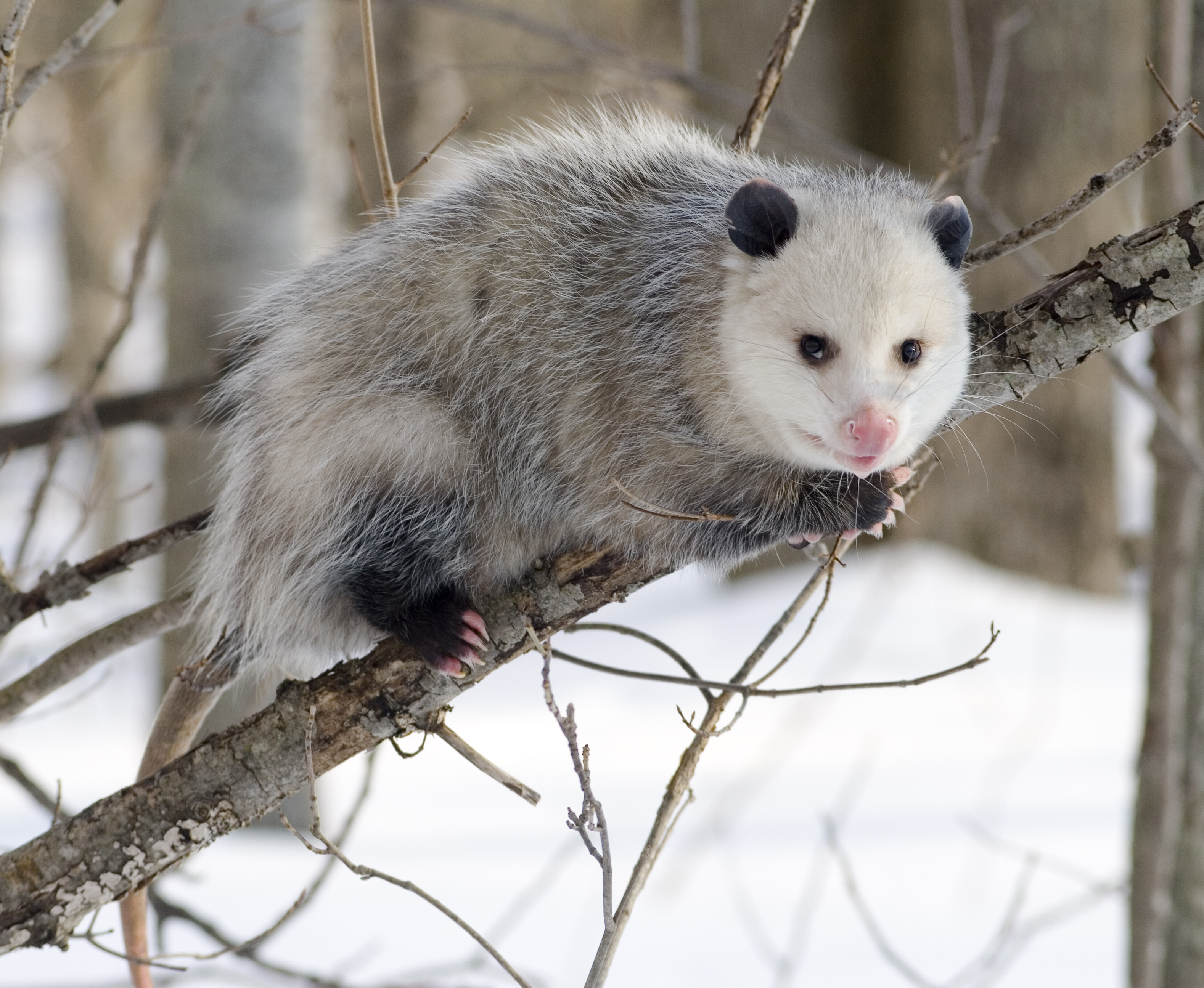 HD Quality Wallpaper | Collection: Animal, 3157x2592 Opossum