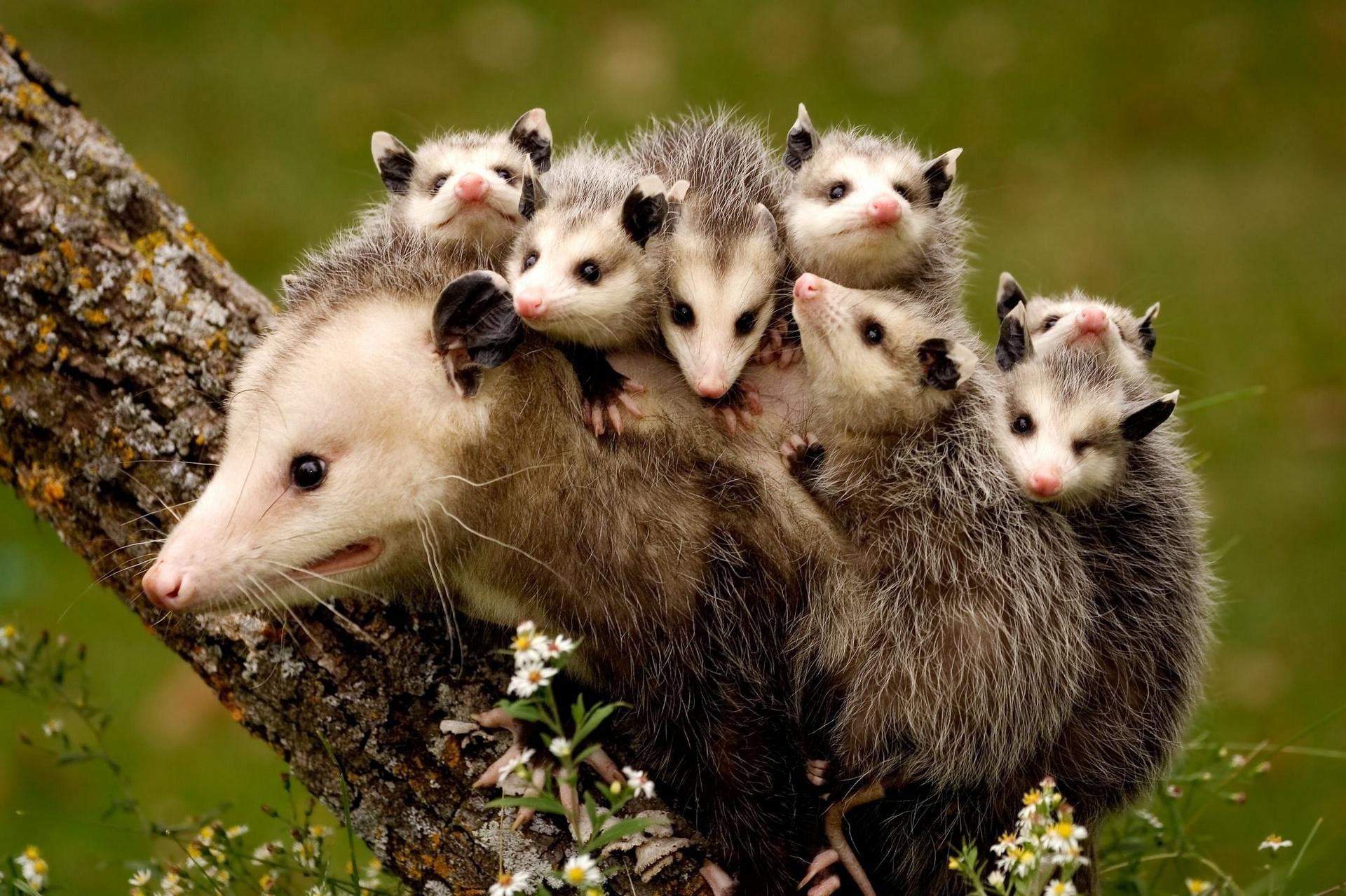 Opossum #3