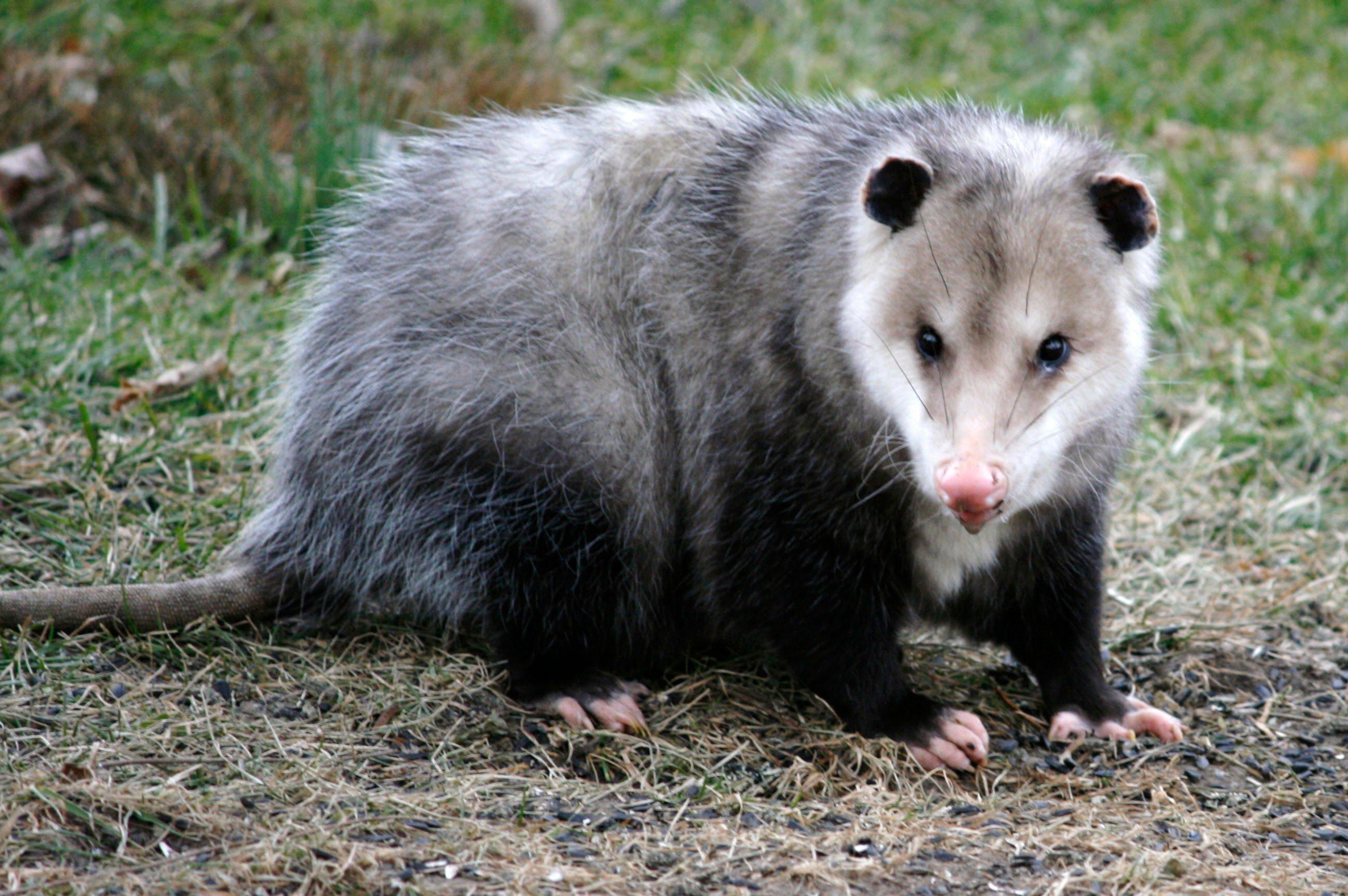 Nice wallpapers Opossum 2595x1725px