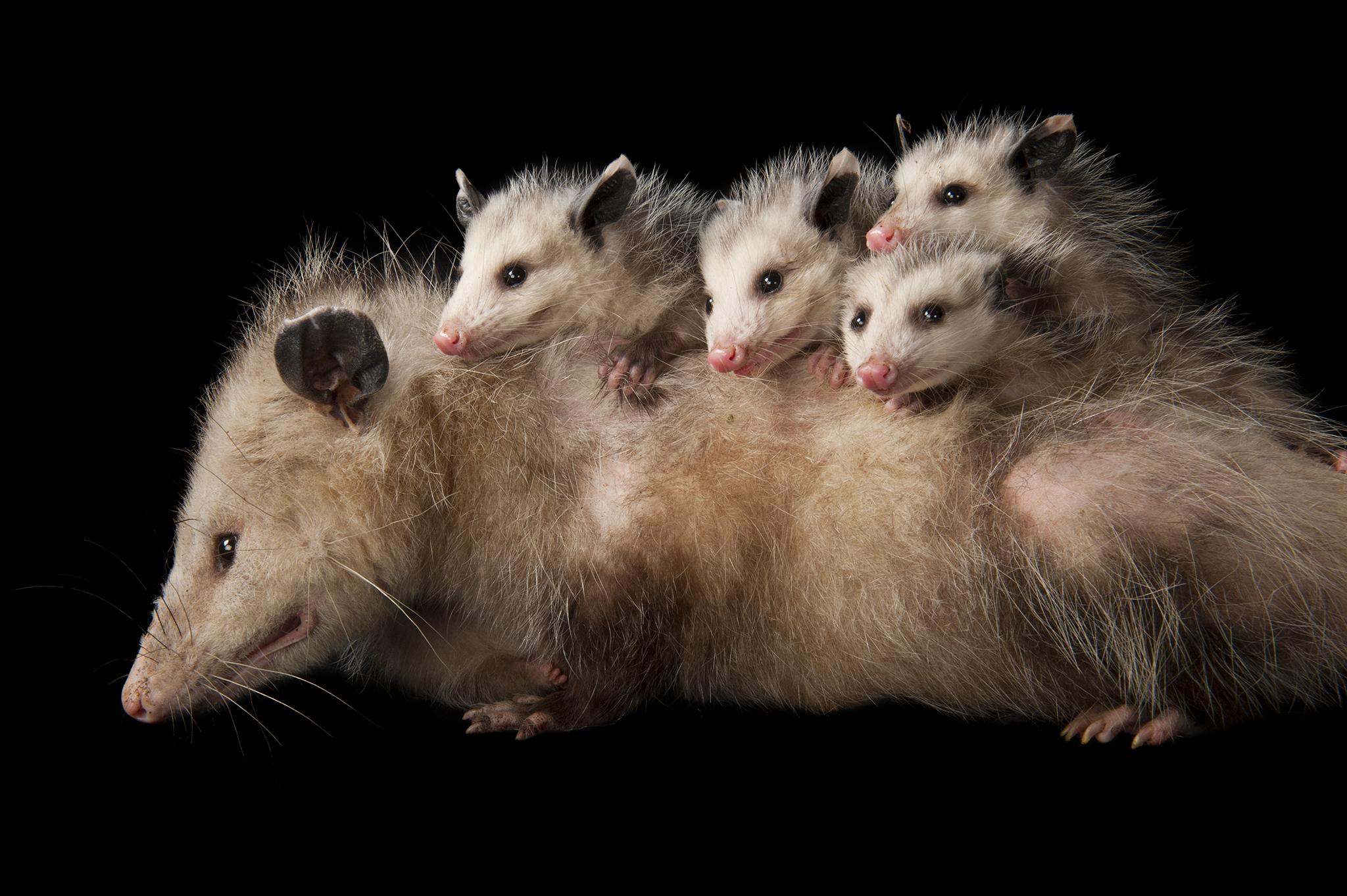 Opossum Backgrounds on Wallpapers Vista