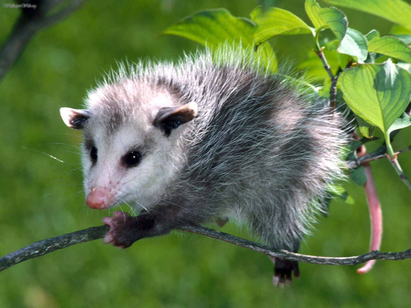 Nice wallpapers Opossum 1600x1200px