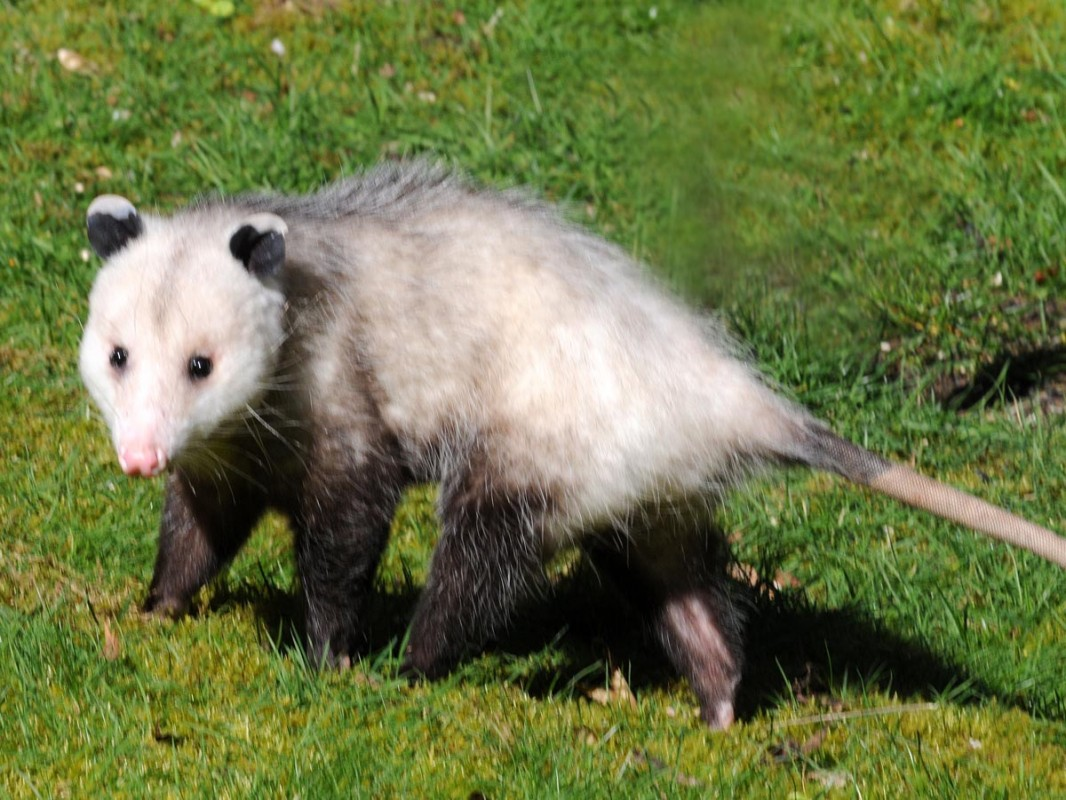 1066x800 > Opossum Wallpapers