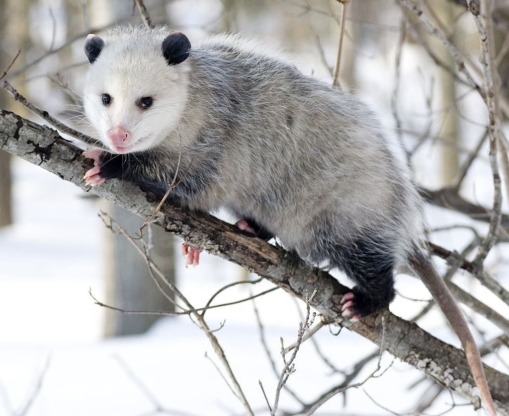 Nice Images Collection: Opossum Desktop Wallpapers