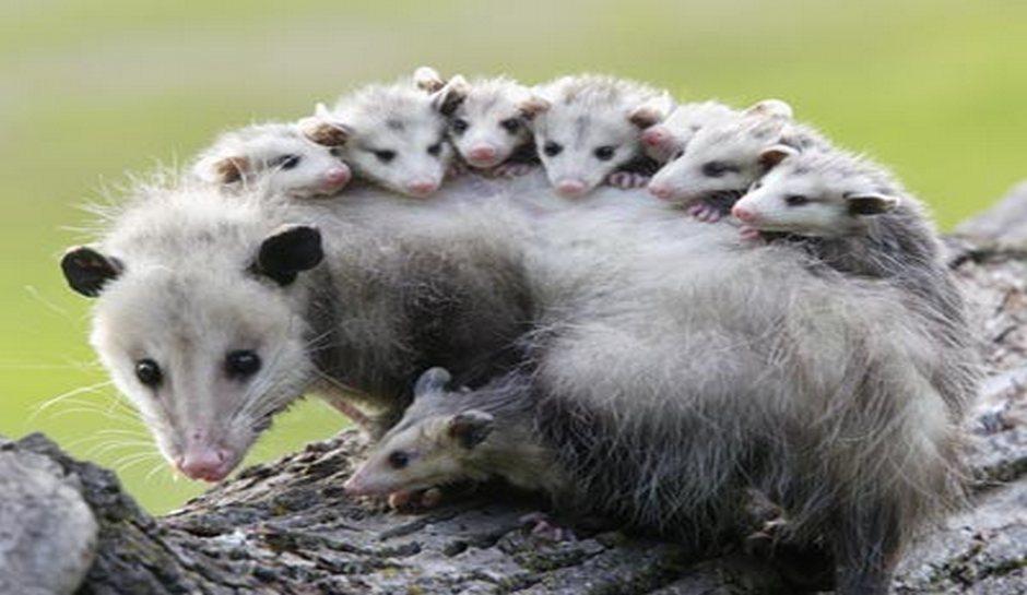Opossum Backgrounds, Compatible - PC, Mobile, Gadgets| 940x545 px