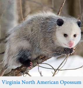 Opossum HD wallpapers, Desktop wallpaper - most viewed