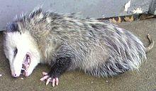 Opossum Pics, Animal Collection