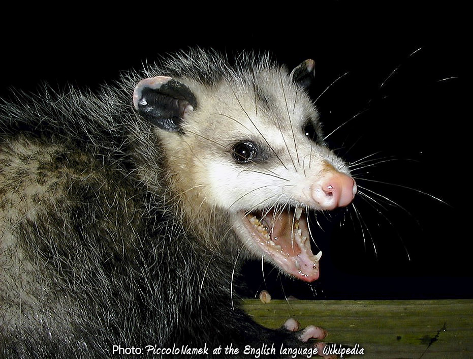 Amazing Opossum Pictures & Backgrounds