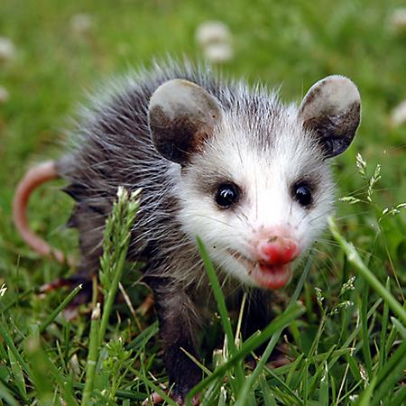 Opossum #14
