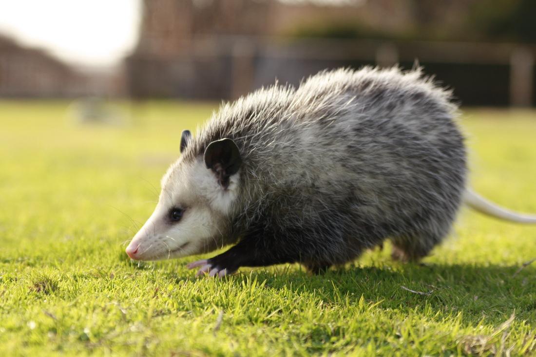 Opossum #23