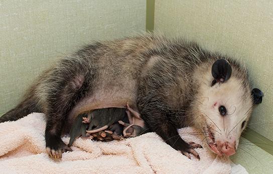 Opossum #17