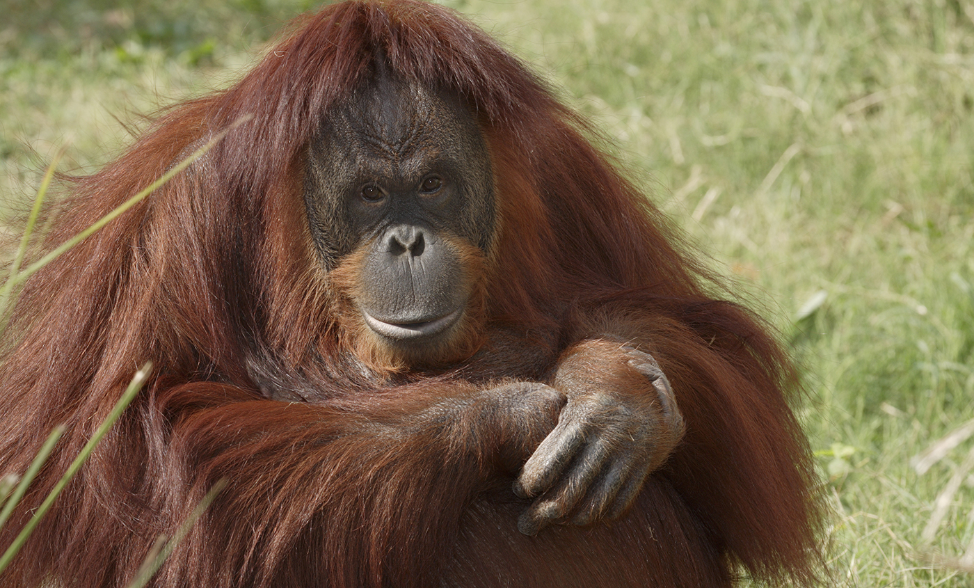 HD Quality Wallpaper | Collection: Animal, 1400x845 Orangutan