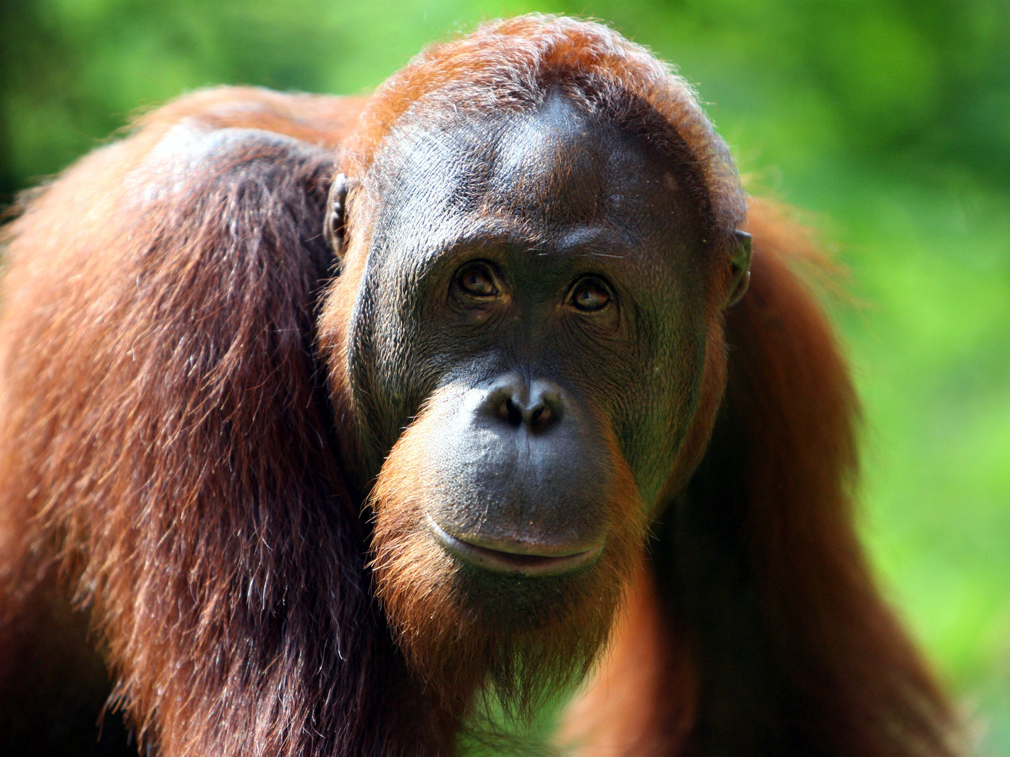 Orangutan Pics, Animal Collection