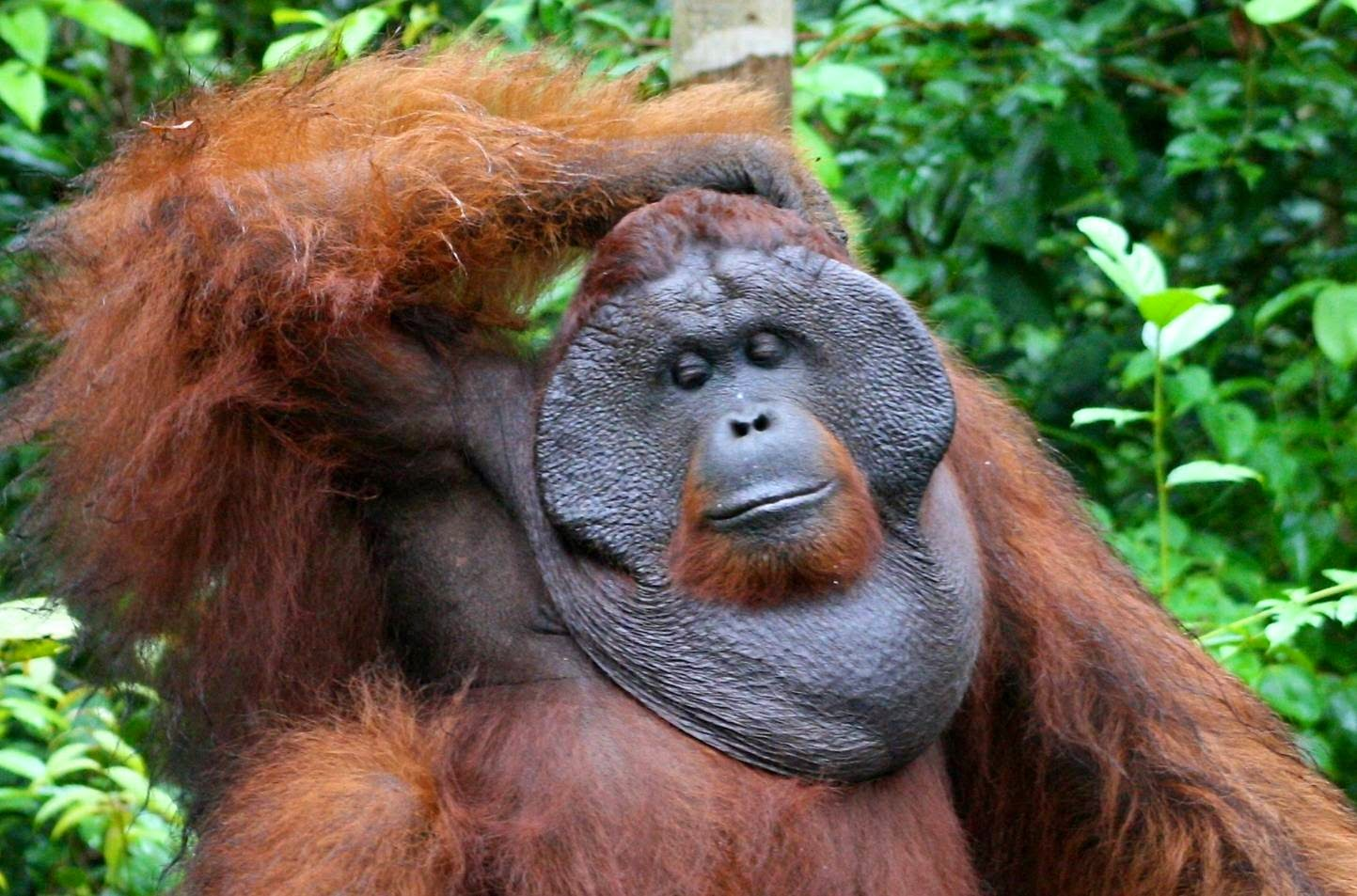 High Resolution Wallpaper | Orangutan 1443x953 px