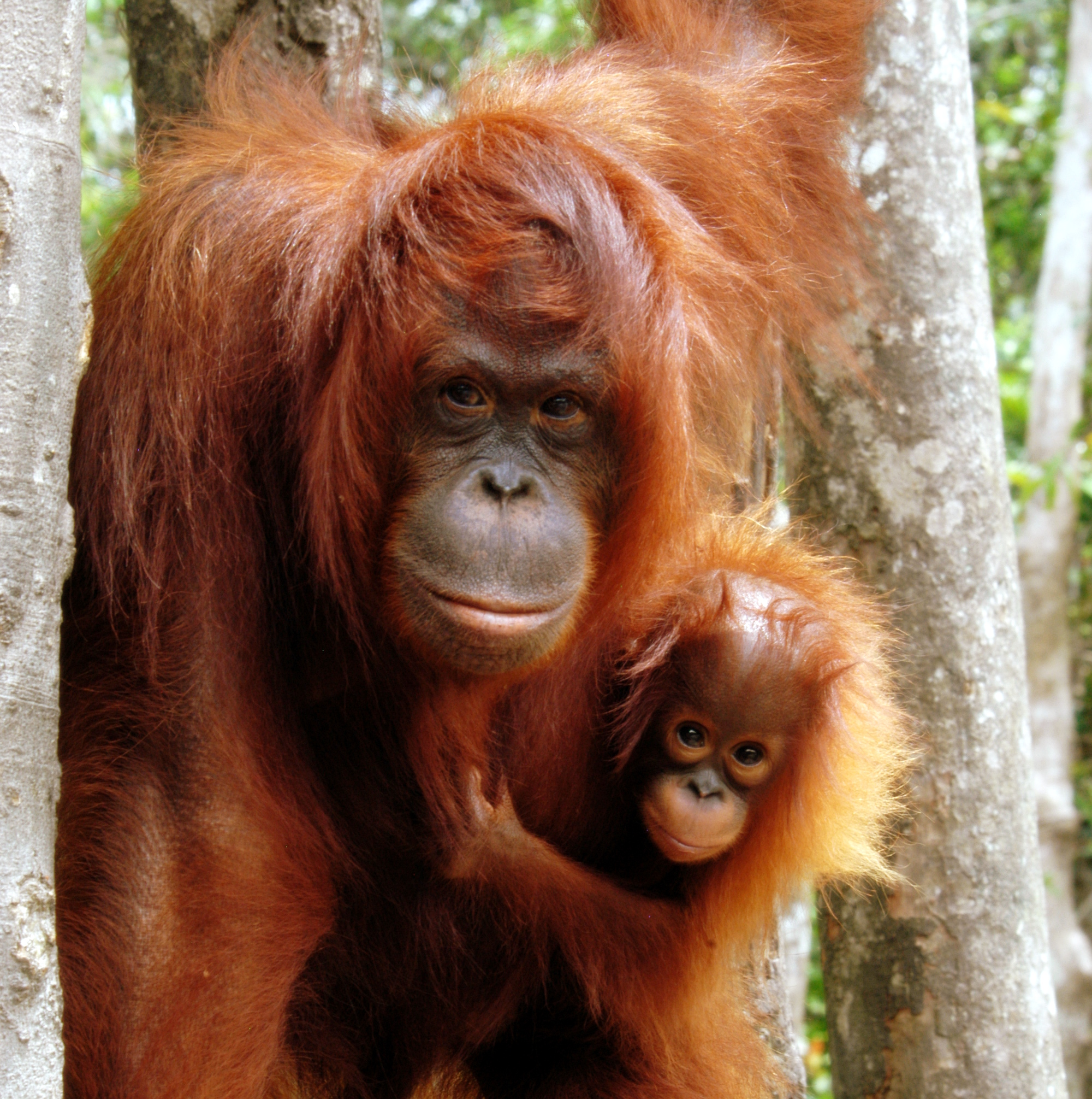 Images of Orangutan | 2000x2011