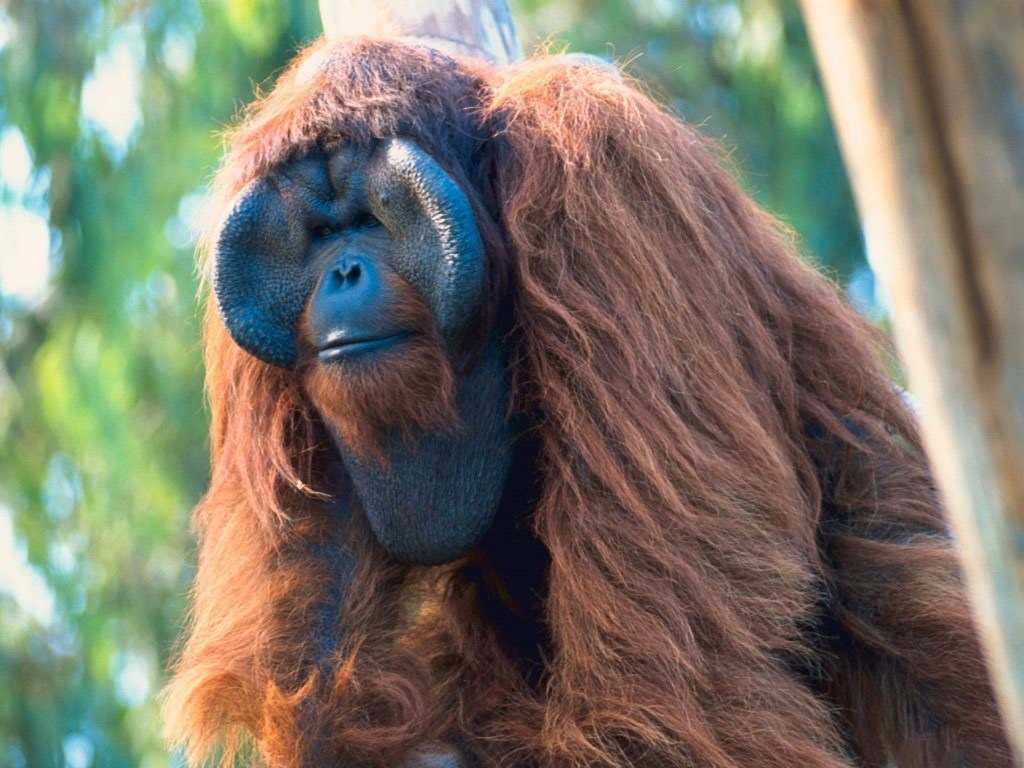 Amazing Orangutan Pictures & Backgrounds