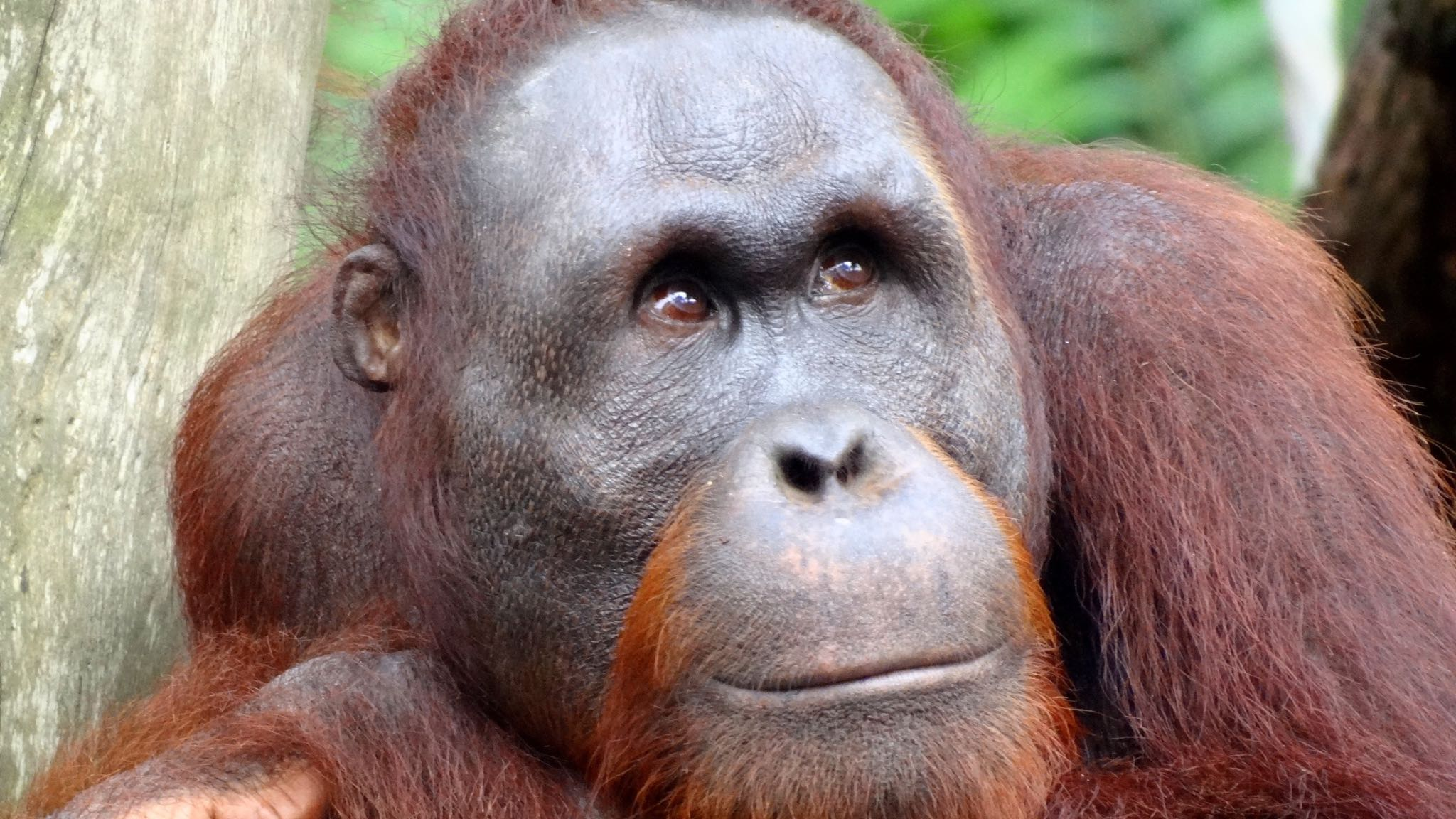 HD Quality Wallpaper | Collection: Animal, 2048x1152 Orangutan