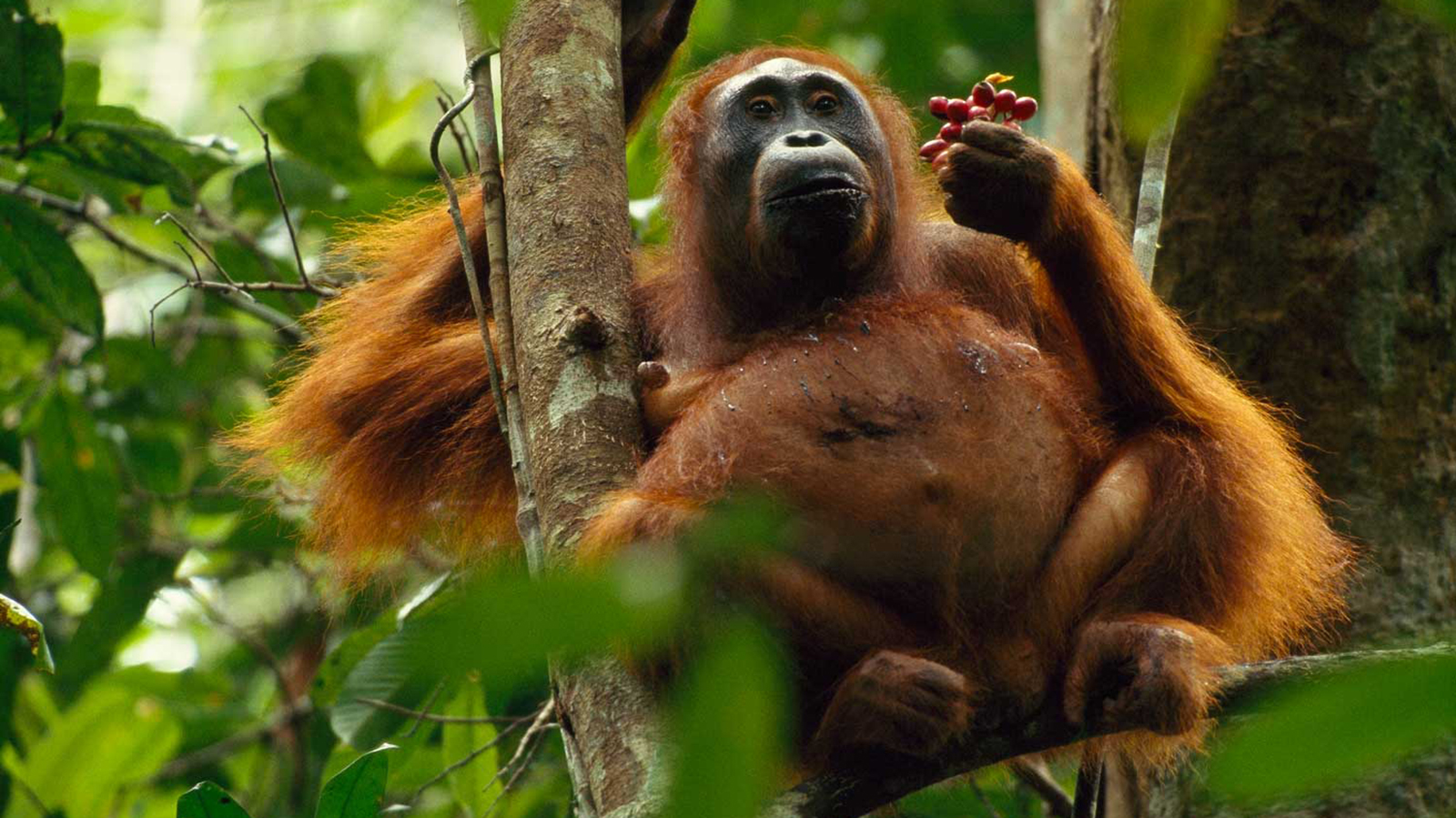 High Resolution Wallpaper | Orangutan 1600x899 px